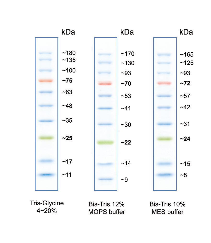 02101-250 AccuRuler RGB Prestained Protein Ladder